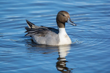 Northern Pintail Swimming