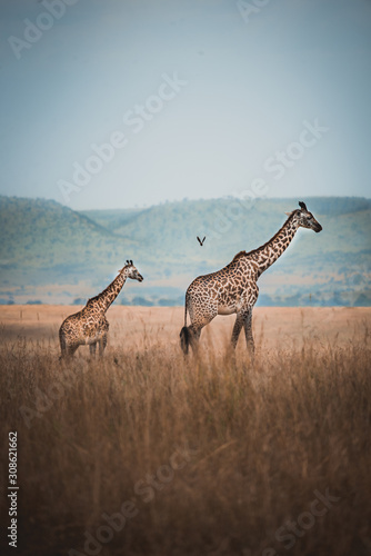 Photo  Two wild giraffes in kenya