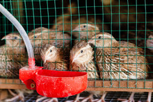 Fresh Quail Cages Are Arranged In Stages With A Place To Feed And Drink,selective Focus