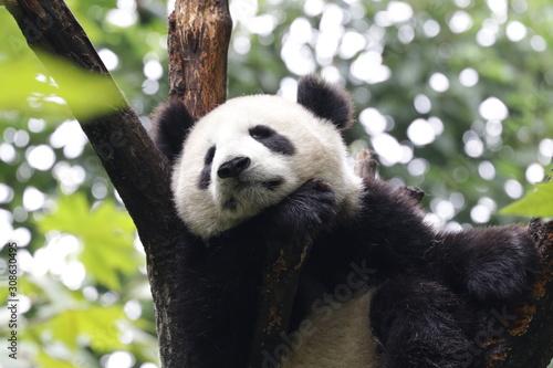 Fototapety, obrazy: Panda on the Tree, Chengdu, China