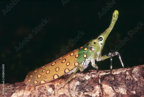 Lantern fly. A seldom seen insect. Wallpaper Mural