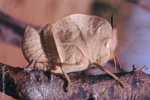 Hooded grasshopper (brown) Canvas Print