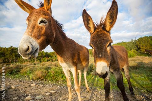 Wild donkey Tapéta, Fotótapéta