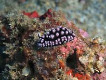 The Amazing And Mysterious Underwater World Of Indonesia, North Sulawesi, Manado, Sea Slug