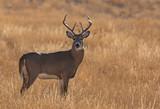 Fototapeta Sawanna - A Beautiful White-tailed Deer Buck on the Plains