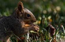 A Fox Squirrel In A Suburban Yard