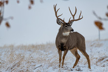 A Large Mule Deer Buck In A Field During Autumn