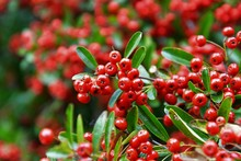 A Closeup View Of Pyracantha C...