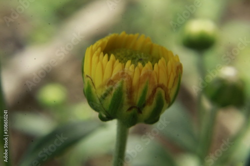 Asteraceae or Compositae also known as aster or daisy. Canvas Print