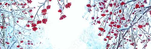 Obraz Rowan tree in snow. artistic winter background. frozen bunches of Red rowan berries covered with snow. new year and christmas time. banner. copy space - fototapety do salonu