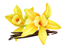 Yellow Orchid, Vanilla Flowers, Buds, Pods On An Isolated White Background, Watercolor Drawing