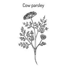 Cow Parsley Or Wild Chervil An...