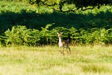 Fallow Deer Fawn (Dama Dama) Hopping Over Fields, Taken In UK