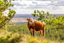 In Late Autumn, A Young Cow Walks Along The Slopes Of The Mountains Of The Southern Urals, The Republic Of Bashkortostan.