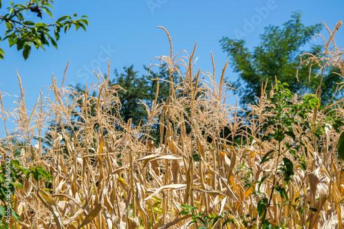 Fényképezés Dried cornstalks, summer corn plants on a field under a blue sky, green trees in
