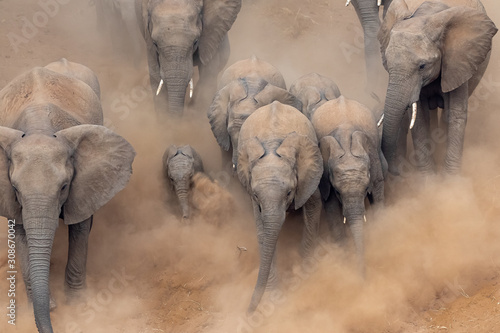 Fototapeta Elephants running in a dry riverbed with lots of dust in Kruger National Park, South Africa obraz