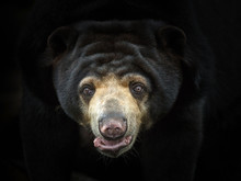 Malayan Sun Bear's Face On A B...
