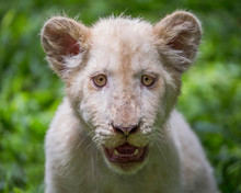 The Face Of A White Lion Cub