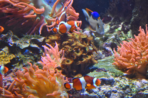 Photo  Clownfish and Paracanthurus in coral