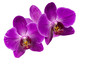 Very beautiful close-up of purple phalaenopsis orchid flower, Phalaenopsis known as the Moth Orchid or Phal isolated on white background. Nature concept for design. Place for your text.