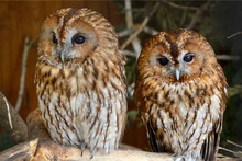 Two Owls  Couple Of Owls Beaut...