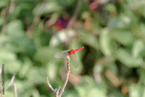 Photo Dragonfly Damselfly insect - Odonata infraorder Anisoptera of grasshopper family with multifaceted eyes, strong pairs, transparent patched wings