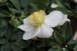 weiße Christrose Lenzrose Helleborus Schneerose - white christian rose