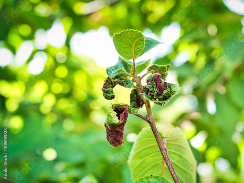Photo Branch of fruit tree with wrinkled leaves affected by black aphid