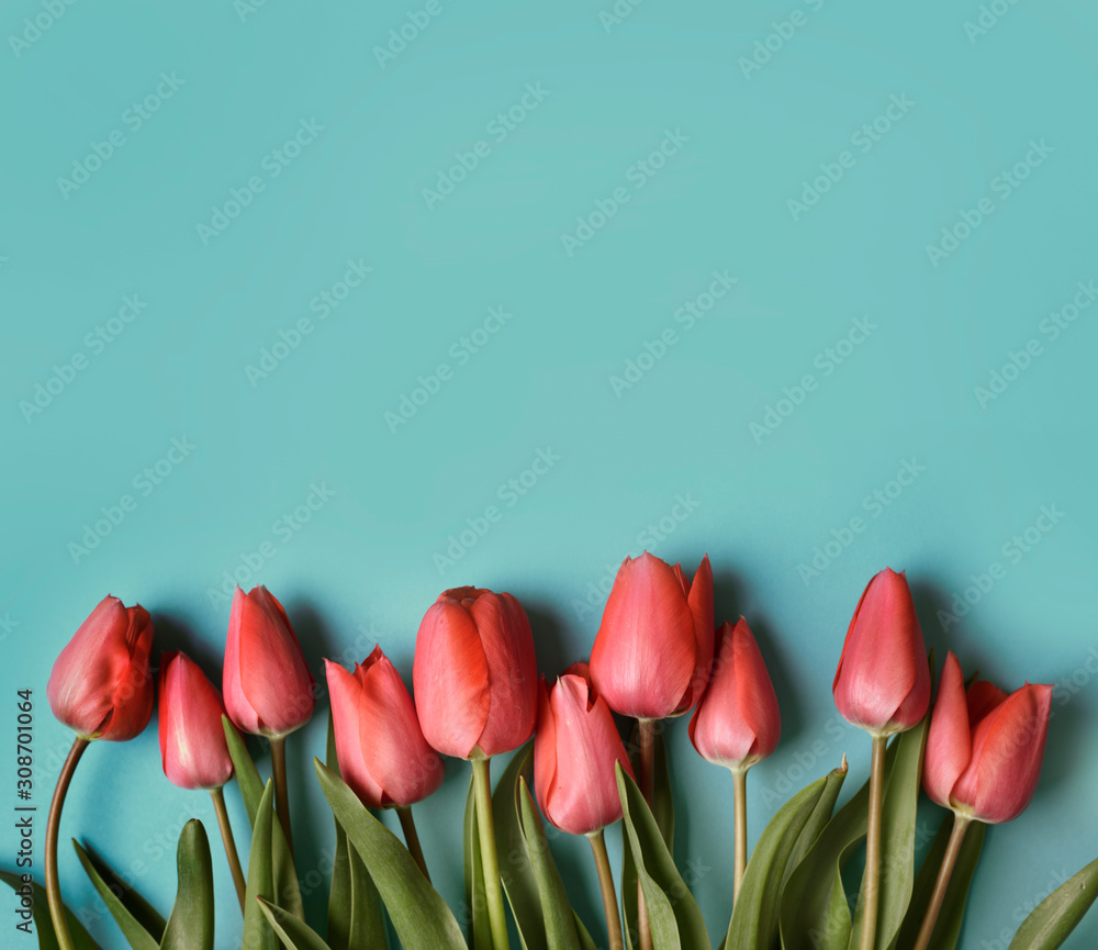Czerwony tulipanowy kwiat na pastelowym błękitnym tle od above. Kreatywny projekt rama bukiet wiosenny pączek. Walentynki, dzień matki i ślub kartkę z życzeniami. <span>plik: #308701064 | autor: hitdelight</span>