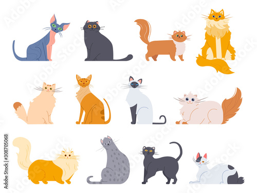Obraz Cat breeds. Cute fluffy cats, maine coon, bobtail, siamese cat and funny sphynx cat, pedigree breeds pets isolated illustration icons set. Flat vector kittens bundle - fototapety do salonu