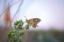 Male Profile Of Swallowtail Bu...