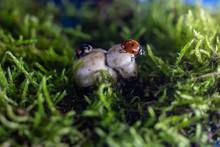 Closeup Of Two Ladybugs Gettin...