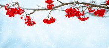 Nature Winter Background With Snowy Rowan Branch