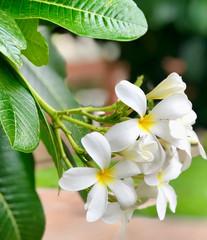 Obraz na płótnie Canvas Plumeria Flowers Blossoming on a tree. Also called as Firangipani.