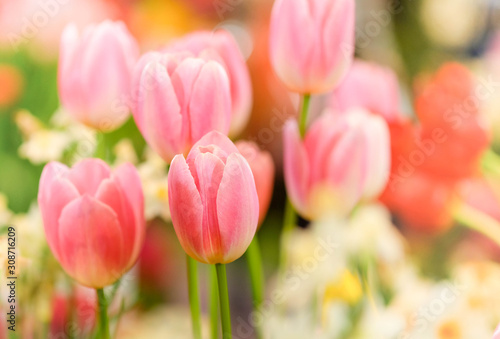 Fototapeta The beautiful tulip flowers in the garden using as the nature background and spring season wallpaper concept. obraz