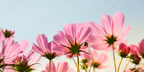 Fototapeta the beautiful cosmos flowers in the garden with the sunny day using as nature background and wallpaper. obraz na płótnie