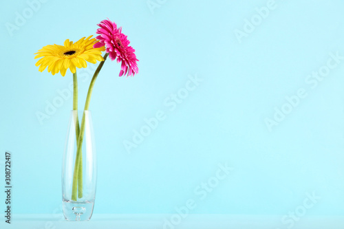 Glass vase with gerbera flowers on blue background