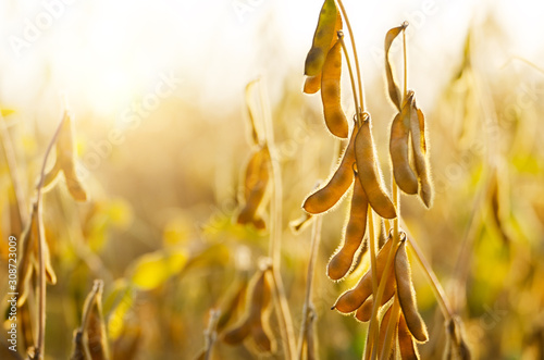 Wallpaper Mural Soy pods at field sunset time backlit by sun closeup photo