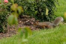Gray Squirrel In Garden.