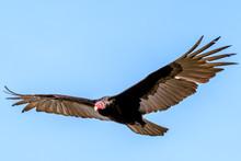 Panama - Isla Bastimentos - Turkey Vulture