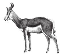 Springbok (Antidorcas Marsupialis) - Vintage Illustration From Meyers Konversations-Lexikon 189