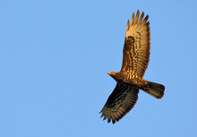 European Honey Buzzard Soaring High Above In Blue Sky At Sunset
