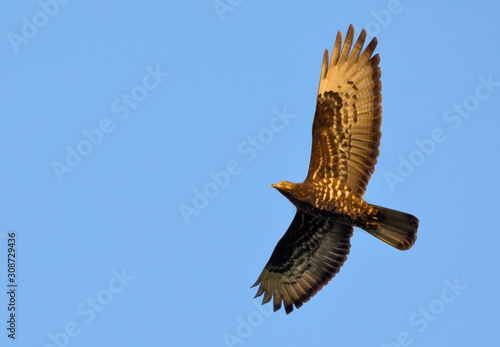 European honey buzzard soaring high above in blue sky at sunset Canvas Print