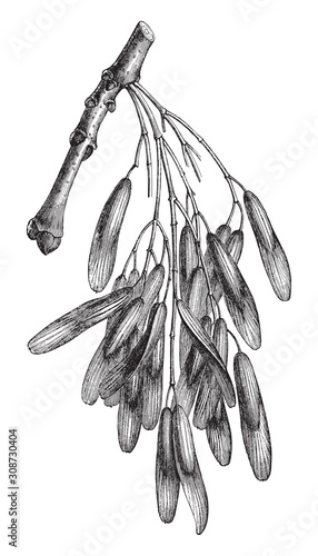 Fototapeta Common Ash (Fraxinus excelsior) / vintage illustration from Meyers Konversations