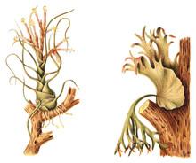 Tillandsia Bulbosa (left) And Staghorn Or Elkhorn Fern (Platycerium Grande) (right) / Vintage Illustration From Meyers Konversations-Lexikon 1897