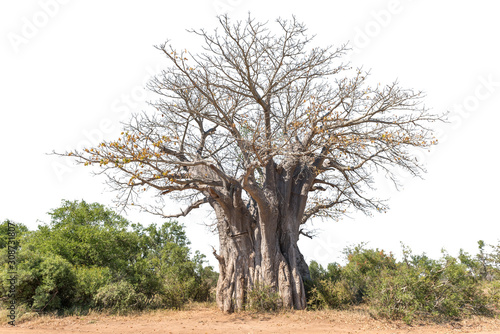 Photo Baobab tree, Adansonia digitata, isolated on white