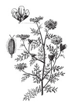 Wild Carrot (Daucus Carota) / Vintage Illustration From Meyers Konversations-Lexikon 1897