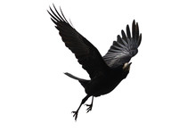 Black Bird Flies On A White Background