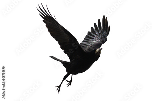 Fototapeta black bird flies on a white background obraz