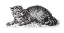 Domestic Cat (Felis Catus) / Vintage Illustration From Meyers Konversations-Lexikon 1897